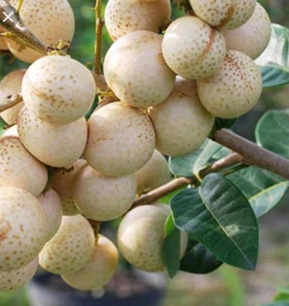 bibit kelengkeng aroma durian Jawa Timur