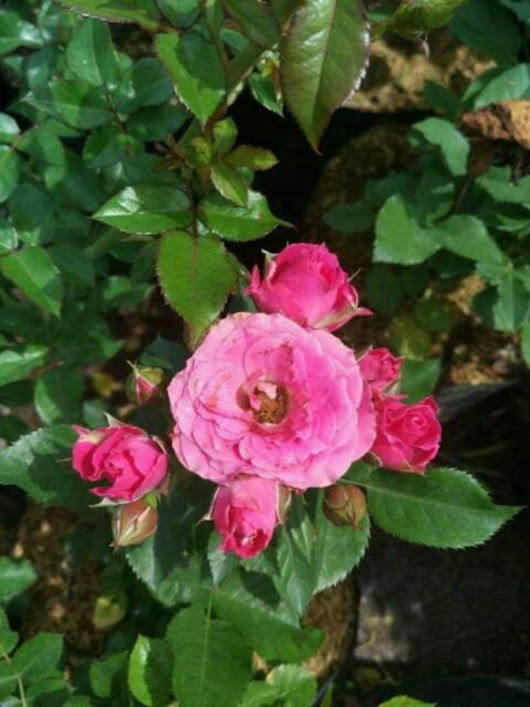 Tanaman hias mawar floribunda Sumatra Utara