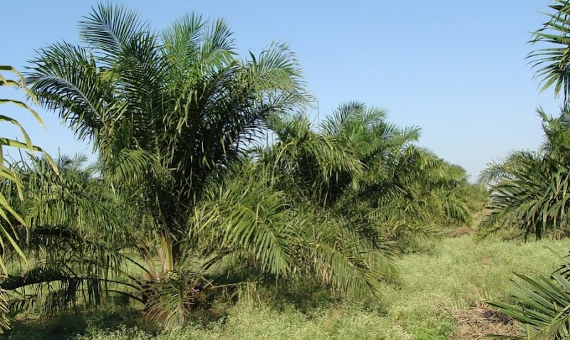 Penanaman Kelapa Sawit di Daerah Datar (Sistem Pancang Tanam)