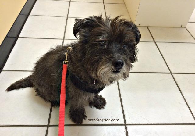 Oz at vet's for Dry Eye in Dogs