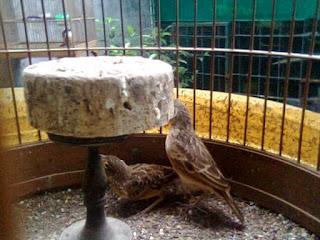 Burung Branjangan - Proses Penjodohan Burung Branjangan yang Simpel