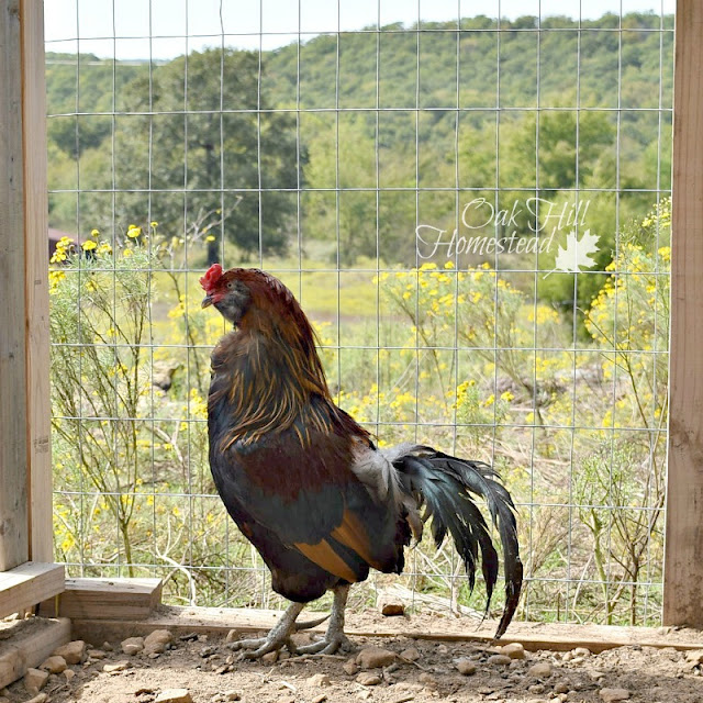 Even the chickens have a great view - how to keep your chickens happy.