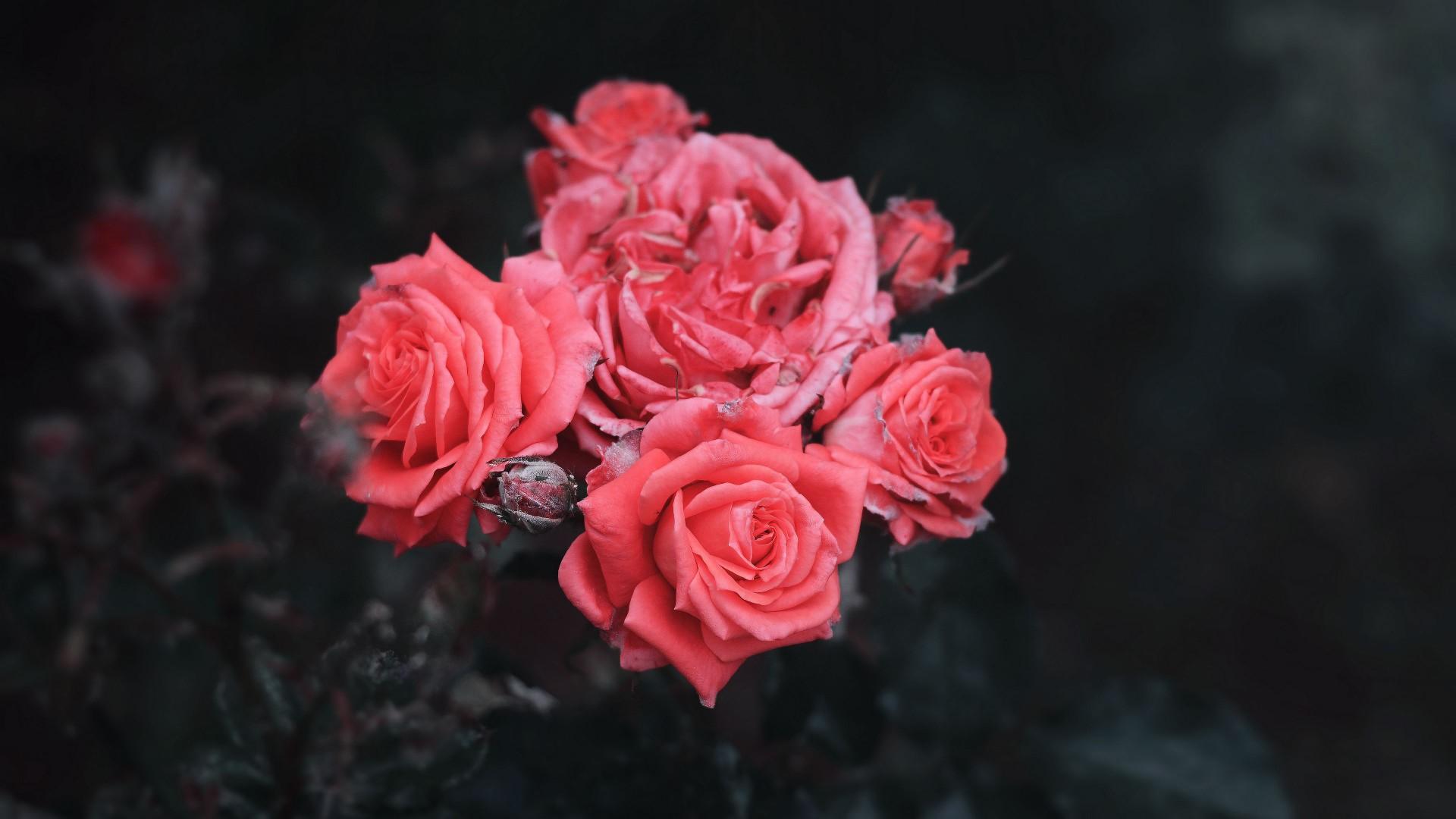 Pink roses bush buds in black background 4k HD flowers Wallpaper