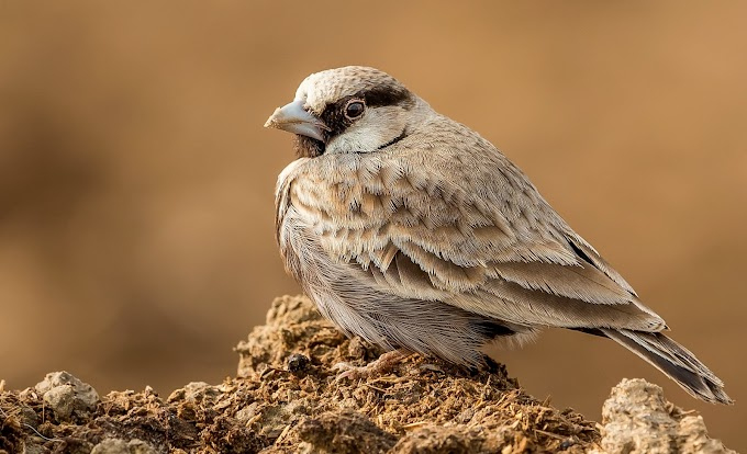 Ashy-crowned sparrow lark Ludesar,Haryana,India