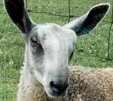 Bluefaced Leicester Sheep Characteristics, Wool, Origin, Weight, Height