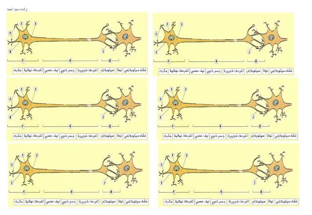 صور جاهزة للطباعة لبنية المشبك علوم طبيعية الجيل الاني زادت سيد احمد