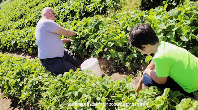 Father and Son on Father's Day picking sweet strawberries