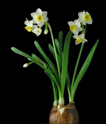 hoa thuy tien dep nhat 6