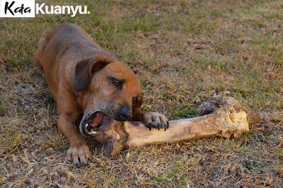 Cara melatih anjing kampung agar pintar berburu