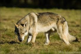 Bertram Kastner (2) - La visión de las presas y el depredador rival Lobo