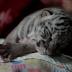 Nace tigre blanco de bengala en Zoológico Nacional de Nicaragua