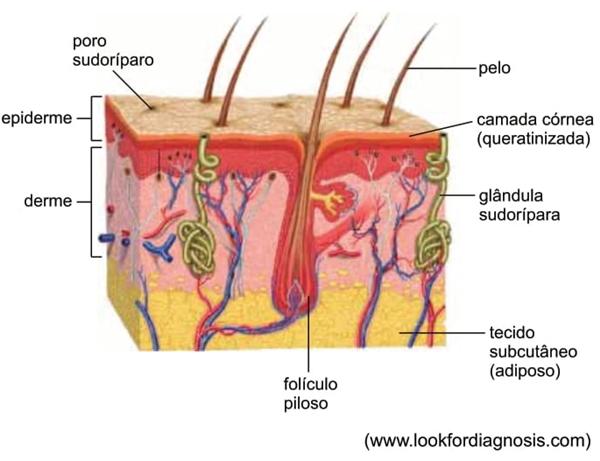 Observe os componentes do tegumento humano
