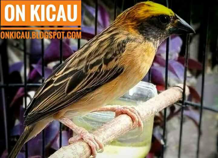 Perawatan Yang Tepat Untuk Burung Manyar Agar Cepat Gacor On Kicau