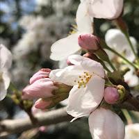 特に意味の無い桜