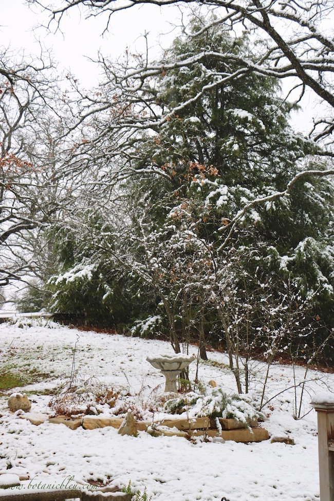 Large native cedar trees provide color, act as windbreaks, shelter birds, and provide berries during bleak Winter months