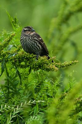 Red-winged Blackbird, Hagerman National Wildlife Refuge