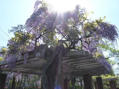 王仁公園の藤の花