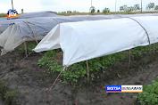 Faktor Cuaca, Produksi Tembakau Ngawi Tahun Ini Hanya 4.500 Ton