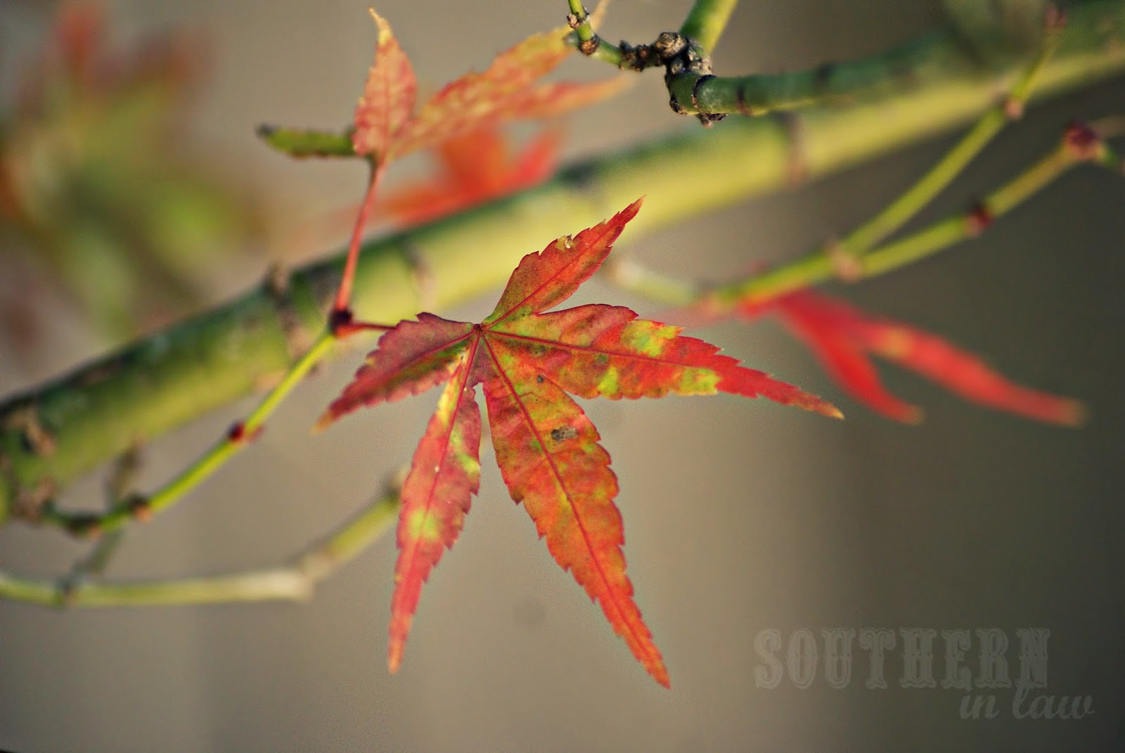 Autumn leaves in Sydney - Japanese Maple Tree
