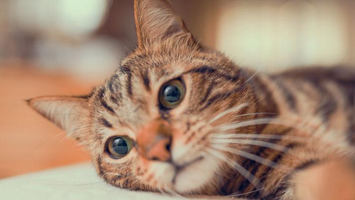 cheristin-for-cats-topical-flea-treatment