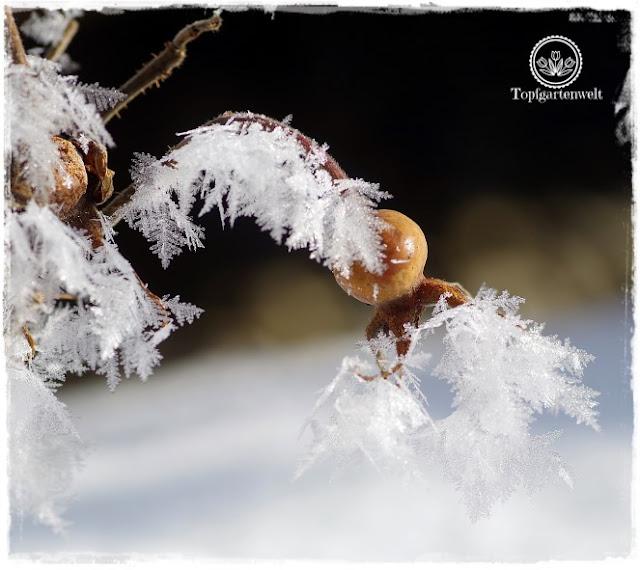 Gartenblog Topfgartenwelt Raureif: Hagebutte Eiskristalle