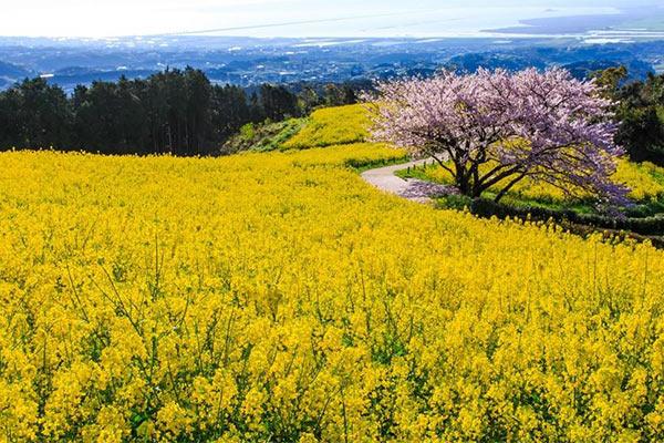 Traveling in spring Kyushu drifting among flowers