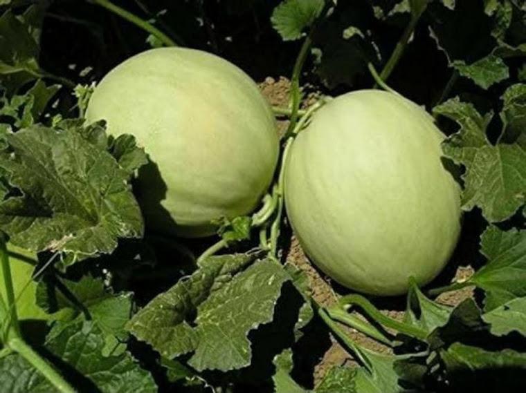 Benih Buah Melon Putih Greenflesh Honeydew Daily Farm Metro