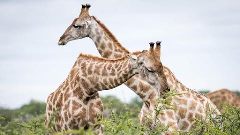 Felháborító: elképesztően ritka fehér zsiráfot lőttek le az orvvadászok