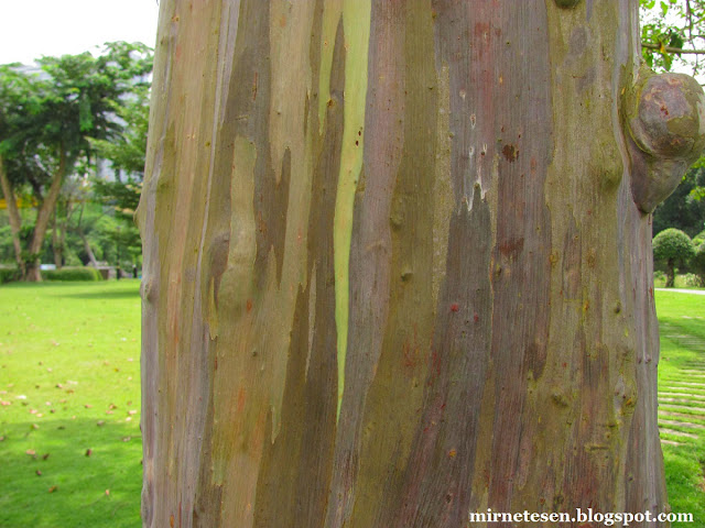 Ботанический сад Пердана в Куала-Лумпуре - радужный эвкалипт