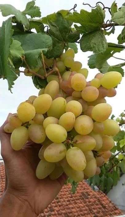 bibit anggur import Jakarta