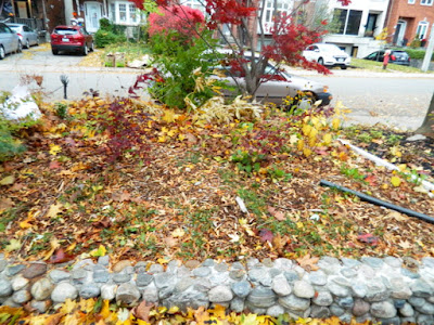 Fall Cleanup Bedford Park Front Yard Before by Paul Jung Gardening Services--a Toronto Gardening Company