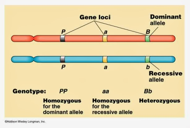 #127 Chromosomes DNA genes and alleles   Biology Notes ...