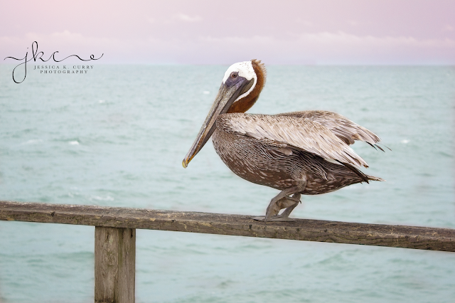 pelican at kure beach, kure beach pier, fort fisher pier