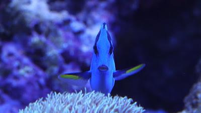 Ciri-Ciri Fisik Ikan Blue Tang
