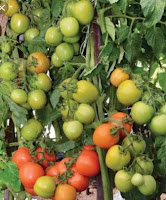 tomat tm marvel, jual benih hibrida murah, benih tomat berkualitas, benih tani murni, budidaya tomat, toko pertanian, toko online, lmga agro