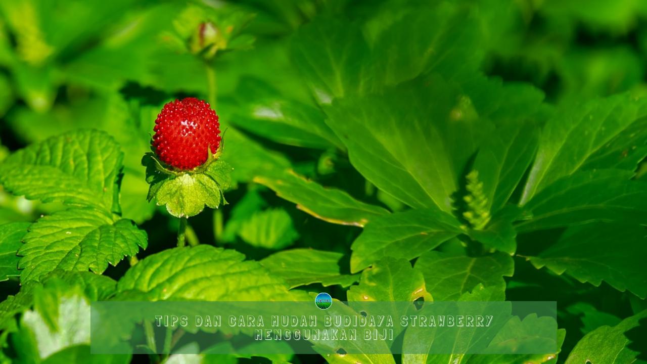 Tips Dan Cara Mudah Budidaya Strawberry Menggunakan Biji