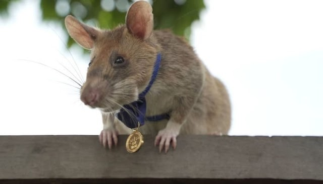 Africa,Cambodia : Magawa the mine-recognizing rodent wins PDSA Gold Medal.