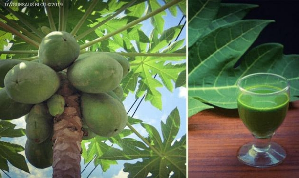 Increase Blood Platelets, Kill Cancer, Heal Ulcers And Reverse Diabetes With Pawpaw Leaf Juice