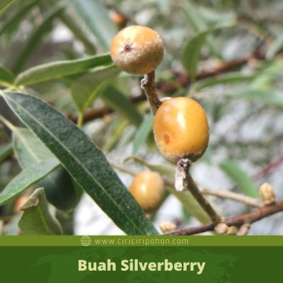 Ciri Ciri Buah Silverberry