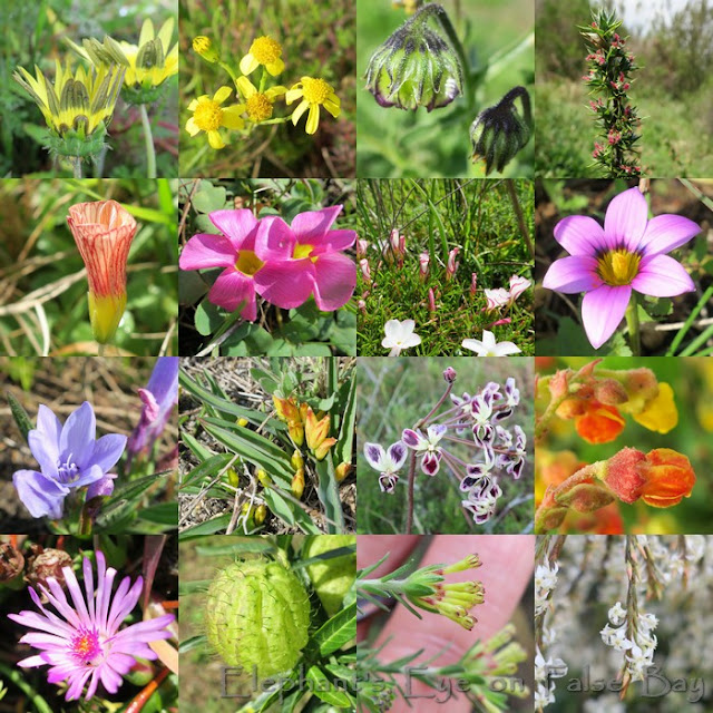 August flowers on Rondebosch Common