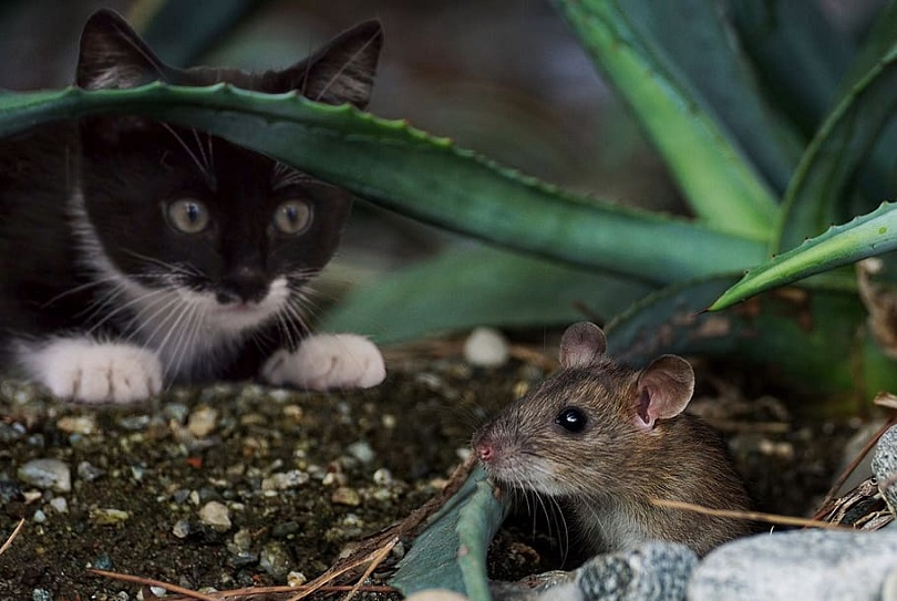 """Cats are famed to kill mice even way back, once ever each cat and humans discovered that they may eat higher when their food is free from mice. Also, in some cartoons like """"Tom and Jerry"""", cats and mice proceed with their role as hunters and prey, severally. although your pet cat would possibly strike a toy mouse on the carpet to please you, don't get simply fooled - since a cat's instincts create them want the $64000 issue.    Certainly, mice aren't the sole supply of food for wild cats. A wild cat isn't that tough to please, so that they may opt for birds, rabbits, and alternative rodents. However, it's simple for a cat to catch mice. Their terribly little size prevents them from doing a counterattack (which makes the """"fight sort of a trapped rat"""" expression a reality) and that they cannot escape like birds by flying away. Therefore, it's famed that cats like to chase mice."""
