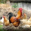 Begini Cara Menetaskan Telur Ayam Kampung Bersama Induknya