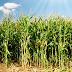 Faesc: seca agrava escassez do milho