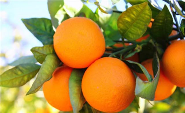 Κρατεί ακόμα η ζήτηση για πορτοκάλια Βαλέντσια - Φτάνει στα 50 λεπτά η τιμή παραγωγού