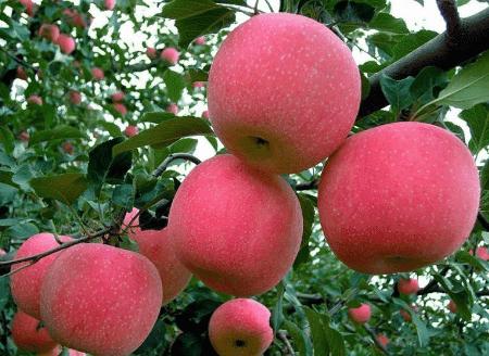 Cara Berkembang Biak Buah Apel