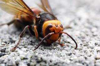 Vespa mandarinia asian giant hornet