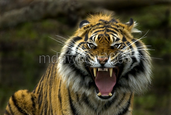 Image Gallary 1: Angry Tiger Face Pictures,Tiger wallpapers
