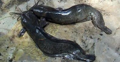 Tips Cerdas Cara Membuat Pakan Makanan Ikan Lele Alternatif Dari Tumbuhan Yang Paling Baik Kliktani Com