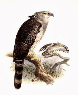 Águila monera Morphnus guianensis
