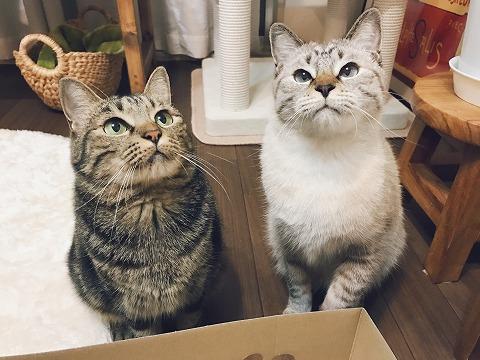 並んでおもちゃを見つめるキジトラ猫とシャムトラ猫